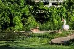 Eenden op een Dam Stock Foto's