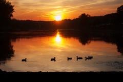Eenden op een reservoir in de aard bij zonsondergang Royalty-vrije Stock Afbeelding