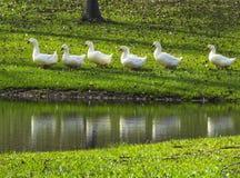 Eenden op een rij - het Blauwe Park van de de Lentesstaat Stock Afbeelding