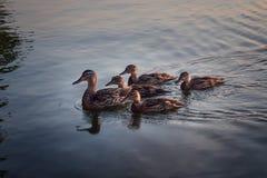 Eenden op een rij op het water Royalty-vrije Stock Fotografie