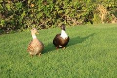 Eenden op groen gras stock foto's
