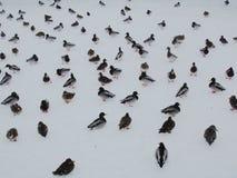 Eenden op het bevroren de winterijs Royalty-vrije Stock Fotografie