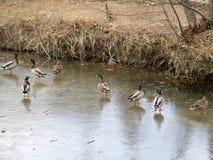 Eenden op het ijs Royalty-vrije Stock Foto