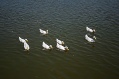 Eenden op het meer Royalty-vrije Stock Foto's