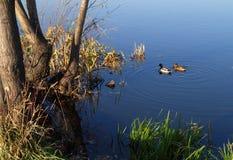 Eenden op het meer Royalty-vrije Stock Foto