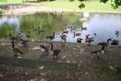 Eenden op het meer Stock Fotografie