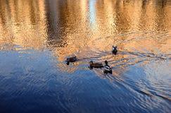 Eenden op het water Stock Foto