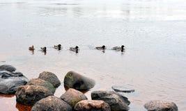 Eenden op het water Stock Fotografie