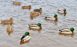 Eenden op het water Stock Foto's
