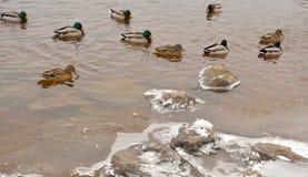 Eenden op het water Royalty-vrije Stock Fotografie