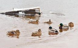Eenden op het water Royalty-vrije Stock Afbeelding