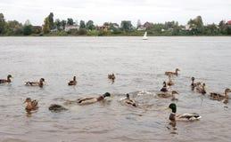 Eenden op het water Stock Afbeeldingen