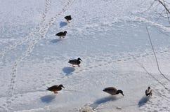 Eenden op ijs Stock Foto's