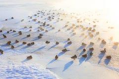 Eenden op ijs die koude ochtend bevriezen Stock Foto's