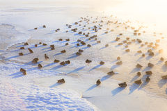 Eenden op ijs die koude ochtend bevriezen Stock Foto
