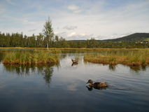 Eenden in spiegelwater Stock Fotografie