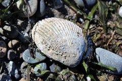 Eendenmosselen die op shell leven Royalty-vrije Stock Afbeelding