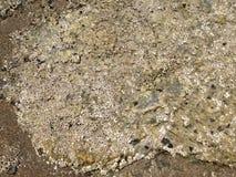 Eendenmosselen op een rots stock afbeeldingen