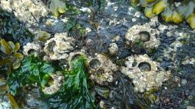 Eendenmosselen op rotsen Stock Fotografie