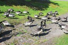 Eendenmosselganzen in het park Helsinki Stock Afbeelding