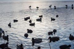 Eendenvogels die het koude silhouet van de de winterzonsondergang van het meerwater zwemmen stock foto's