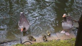 Eendfamilie in vijver zorgvuldige ouders stock fotografie