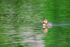 Eendje die op vijver zwemmen royalty-vrije stock foto