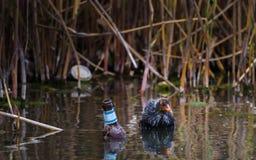 Eendje in een rivierhoogtepunt van vuilnis De bierfles en het aluminium kunnen