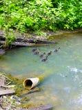 Eendjes en vuil water Stock Afbeeldingen
