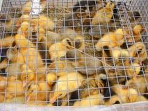 Eendjes op een gevogeltelandbouwbedrijf voor verkoop in de opslag royalty-vrije stock fotografie