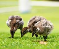 Eendjes op gras Royalty-vrije Stock Fotografie