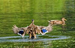 Eendstart Wilde eend - een vogel van de familie van eendendetachement van watervogels De beroemdste en gemeenschappelijke wilde e stock foto