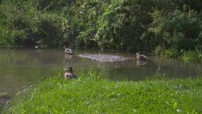 Eendzitting en eenden op de achtergrond dichtbij het water Harmonie van aard stock videobeelden