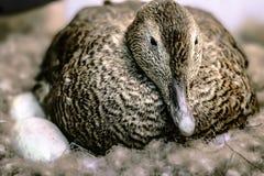 Eendzitting op eieren in het nest Stock Foto's