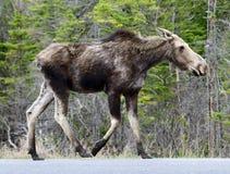 Eenjarige Amerikaanse elanden op een Weg Royalty-vrije Stock Afbeelding