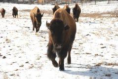 Eenjarige Buffels Bison Leads The Pack Stock Foto