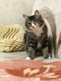 Eenogige kattenpiraat Zit en bekijkt u met één oog royalty-vrije stock foto