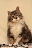 Eenogige, pluizige kat Stock Fotografie