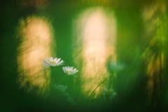 Eenvoudige witte wildflower met backlight royalty-vrije stock fotografie