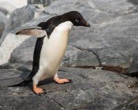 Eenzaam Adele Penguin in Antarctica royalty-vrije stock fotografie