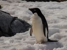 Eenzaam Adele Penguin in Antarctica stock foto's