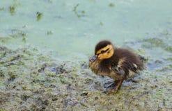 Eenzaam babyeendje in modderig water Stock Foto's