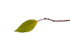 Eenzaam blad op geïsoleerdea tak stock foto's