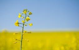 Eenzaam bloeiend koolzaad op de gele achtergrond van het canolagebied Stock Foto's