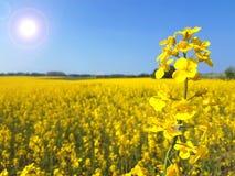 Eenzaam bloeiend oliezaad op geel canolagebied royalty-vrije stock foto
