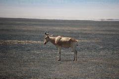 Eenzaam dier op Burnd-savana Royalty-vrije Stock Foto's