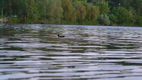 Eenzaam Duck Floats op het Water op het Stadskanaal stock video