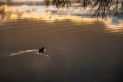 Eenzaam Duck Swimming in Meer met Waterbezinning Royalty-vrije Stock Fotografie