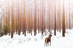 Eenzaam edel hertenmannetje in beeld van de Kerstmiswinter van de pijnboomwinter het bos stock foto's