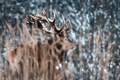 Eenzaam edel rood hertenmannetje in sprookjesland van de Winterkerstmis van de de wintersneeuw het bos royalty-vrije stock foto
